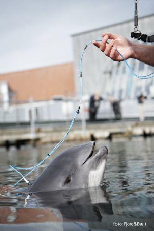 Fjord&Bælt hjælper marsvin, når der bygges havvindmøller